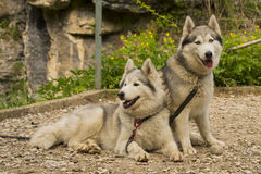 Husky dogs resting Royalty Free Stock Image