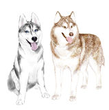 Husky Dogs Or Sibirsky Husky hundkapplöpning Royaltyfri Bild