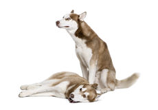 Husky dogs sitting in front of white background Royalty Free Stock Photography