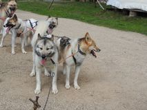 Husky dogs in a sled in the summer in the Park, Sunny day. Dog sledding in summer in the Park, Sunny day royalty free stock photos