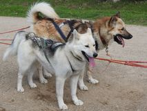 Husky dogs in a sled in the summer in the Park, Sunny day. Dog sledding in summer in the Park, Sunny day royalty free stock images