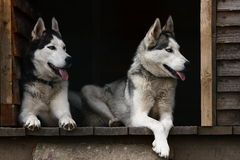 Husky dogs. Two husky dogs in wooden house Royalty Free Stock Photos