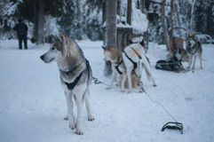 Husky dogs waiting to run in the snow Royalty Free Stock Photography