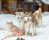 Husky dogs on winter landscape Stock Photography