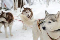 Husky dogs on winter landscape Stock Image