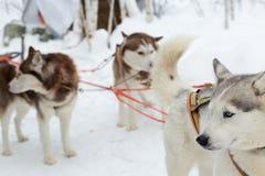 Husky dogs on winter landscape Royalty Free Stock Photo
