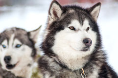 Husky. Dogs at winter in the snow Royalty Free Stock Photography