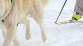 Husky dogs and woman athlete during skijoring competitions. NOVOSIBIRSK, RUSSIAN FEDERATION - FEBRUARY 21: Skijoring competitions. Woman with two dogs skijoring stock footage
