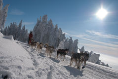 Husky dogsled on trail Sedivacek's long Stock Photos
