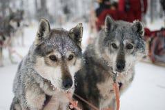 Husky - due cani di slitta fotografie stock libere da diritti