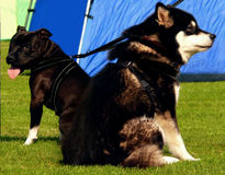 Husky e Pitbull Fotografie Stock
