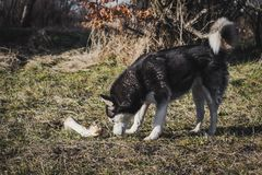 Husky eating bone in the park. stock images