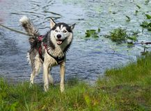Husky emotions after swimming, wet husky on the beach in motion, jumping in splashes  the background of water. Husky emotions after swimming, wet husky on the royalty free stock photo
