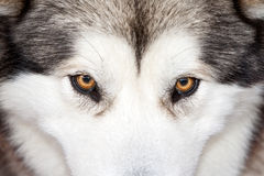 Husky eyes. Close front view of a gray and white Husky dog, focused in his eyes Stock Photo