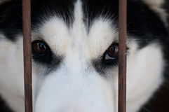 Husky eyes. Cage Stock Images