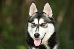 Husky eyes Stock Images