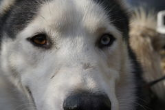 Husky eyes. Showing the 2 different colored eyes of this young husky Stock Image