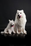Husky Family Royalty Free Stock Photography