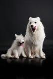 Husky Family Royalty Free Stock Photography