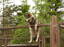 Husky farm. Dog sitting on the fence. Finland Royalty Free Stock Photography