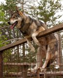 Husky farm. Dog sitting on the fence. Finland Royalty Free Stock Images