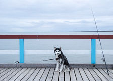 Husky and a fishing rod on a jetty Stock Photo