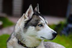Husky Focused Fotos de archivo libres de regalías