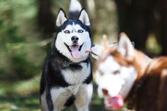 Husky in a forest Stock Images