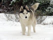 Husky, foresta, Lettonia, inverno, neve, cane della neve fotografia stock