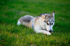 Husky frolic with a wooden stick in his mouth Royalty Free Stock Image