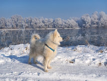 Husky  on the frozen river Royalty Free Stock Images