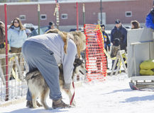Husky getting ready at Dog Pulling Sled Competition Stock Image