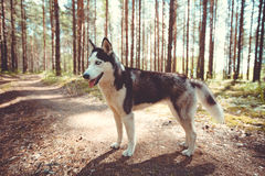 Husky girl. Husky dog for a walk in the woods in the summer royalty free stock images