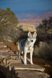 Husky at the Grand Canyon Stock Photos