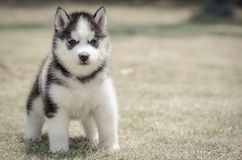 Husky on grass Royalty Free Stock Image