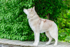 Husky gray. An adult male stands on a wooden platform. age 2 yea Stock Photography