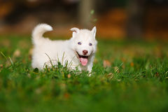 Husky on green grass Royalty Free Stock Photo