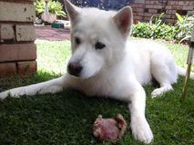 Husky in guard mode guarding his pig-ear Stock Images