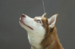 Husky head Stock Images