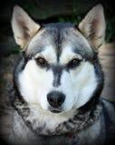 Husky Headshot I Stock Photography