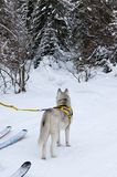 The husky is in a hike. Husky pulls the skier; The dog looks into the winter forest and becomes alert, the view from the back; The pet is in a hike stock images