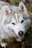 Husky hiking Stock Image