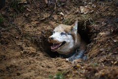 Husky in a hole Royalty Free Stock Image