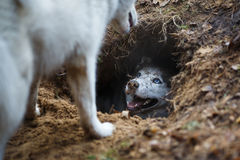 Husky in a hole Stock Photos