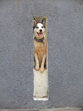 Husky in hole in wall Stock Photo