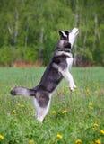 husky hopp Royaltyfria Bilder