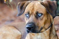 Husky Hound Lab Portrait Images libres de droits