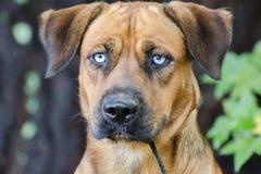 Husky Hound Outdoor Adoption Photo. Husky Hound mixed breed Outdoor Adoption Photo blue eyes stock photography
