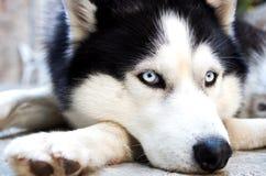 Husky hund Arkivbilder