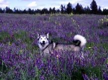 Husky hund Arkivfoto